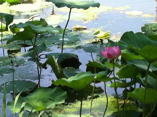 flowering lotus-1