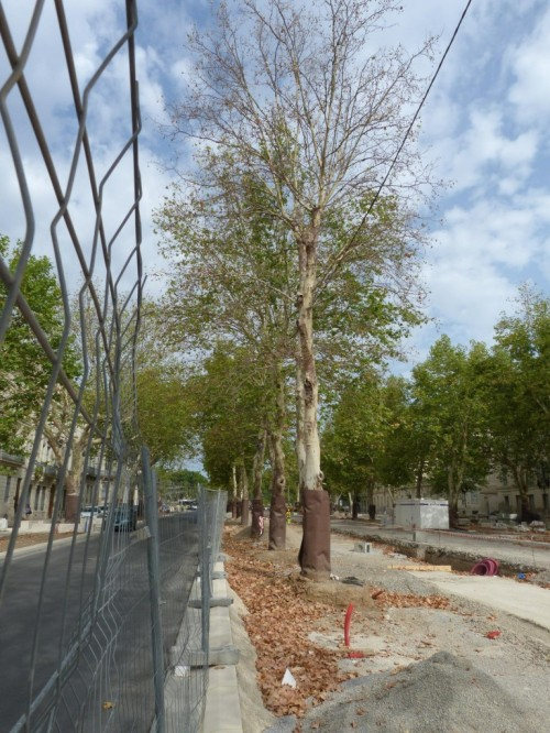 plane trees in streets-4