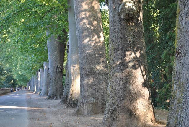 plane trees jardin del principe Aranjuez-1