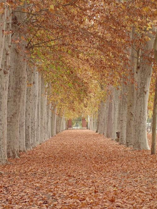 plane trees jardin del principe Aranjuez-4