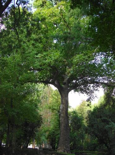 plane trees jardin del principe Aranjuez-6
