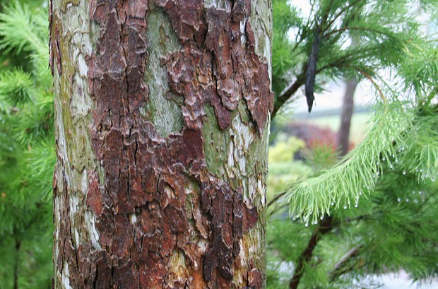 pinus-Chilgoza-bark-3