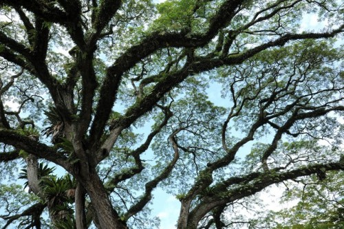 01-rain-tree-04