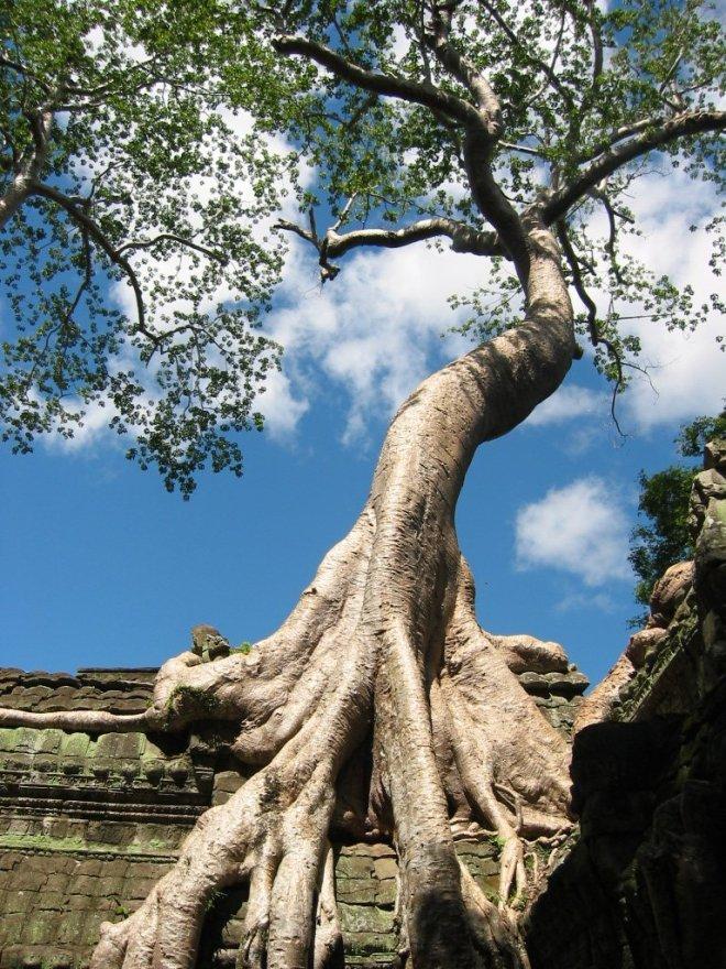 Angkor-wat-Tree