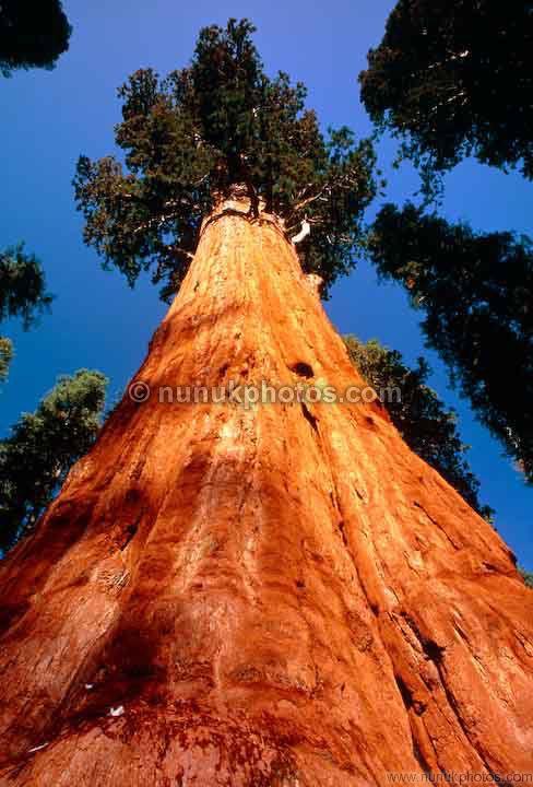 giant-sequoia-tree-pv