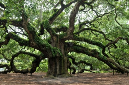 Oak Wood Branches ~ Baobab tree the heart thrills