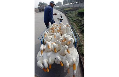 tricycle carrying ducks