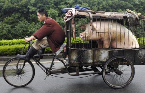 tricycle carrying pig