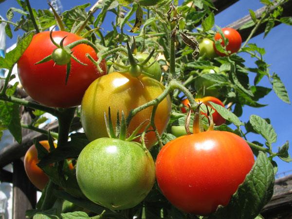 pomodori-1