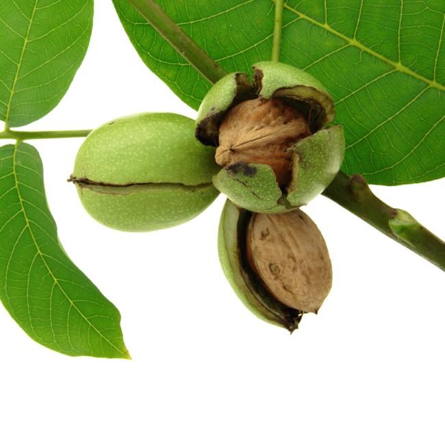 walnuts-on-trees-1