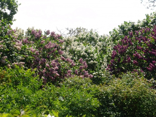 Lilas buissons