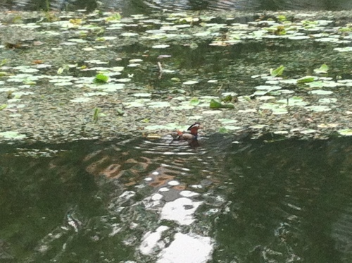 duck on canal 001