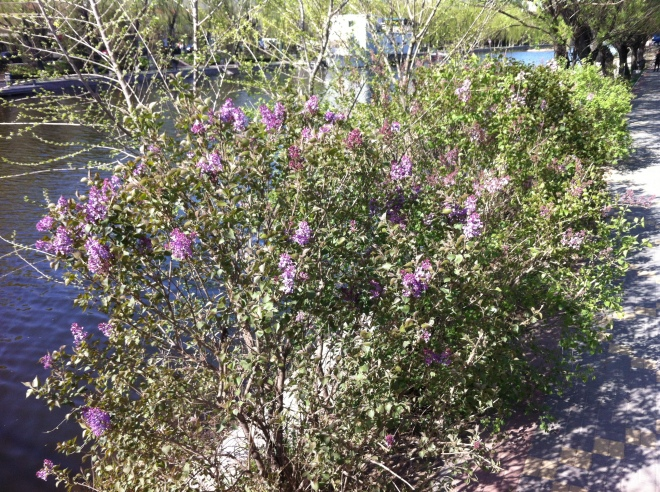 lilacs by the canal 001