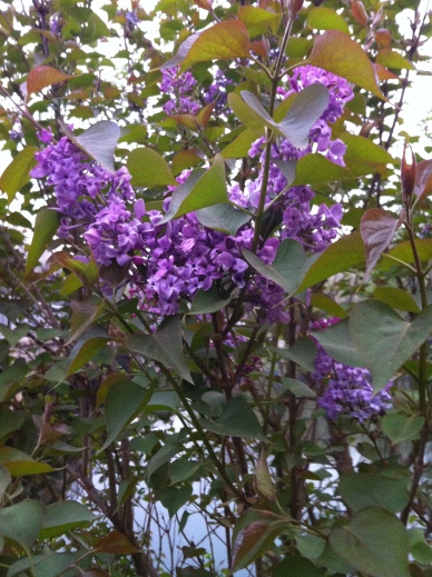 lilacs by the canal 003
