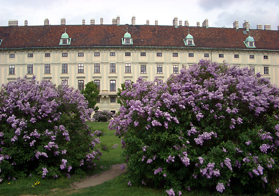 lilacs in Vienna-3