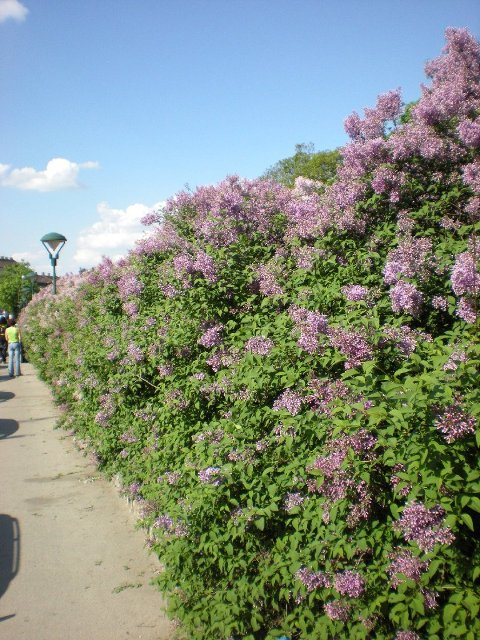 lilacs in Vienna-4
