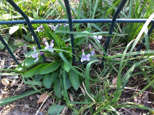 spring flowers 2013 001