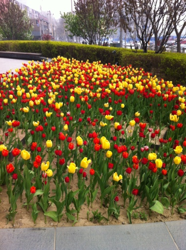 tulip bed by house 001