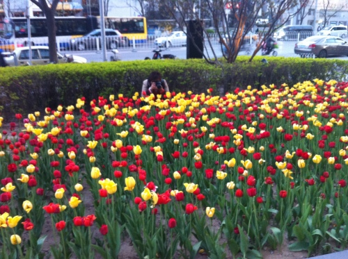 tulip bed by house 004