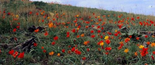 wild tulips-3-asia minor