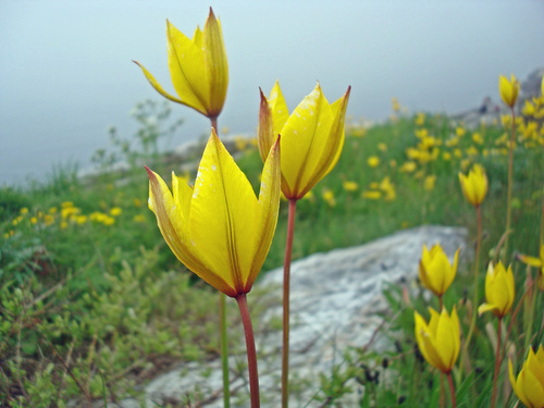 wild tulips-4-tananger coast s norway