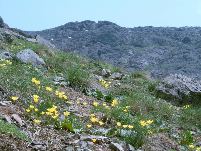 wild tulips-5-iran
