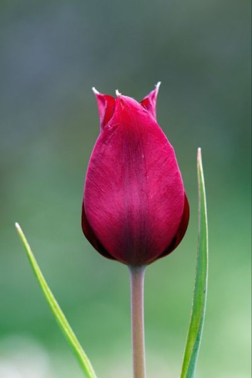 wild tulips-8-cyprus