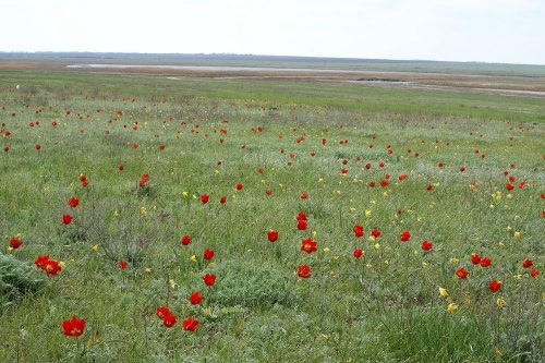 wild tulips-9-steppes s russia