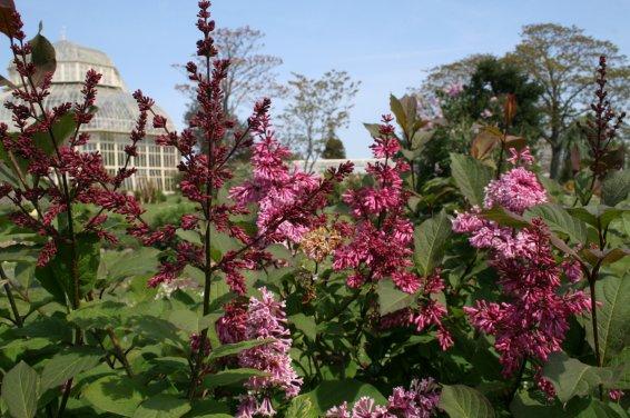 Yunnan lilac-4