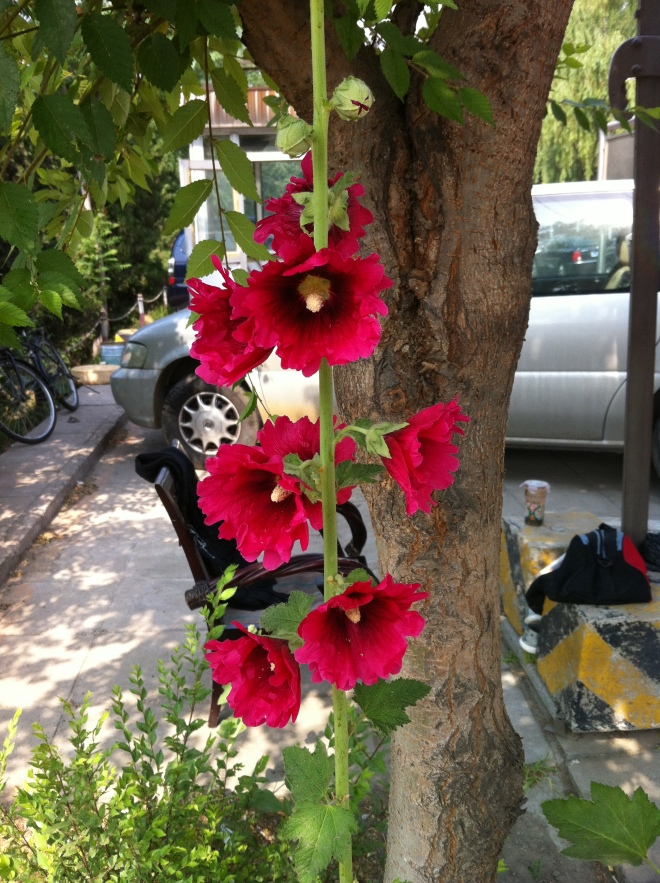 hollyhocks-beijing