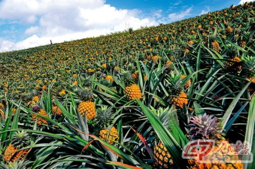 pineapples in Guandong