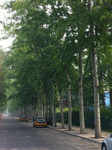 poplars-Beijing 011
