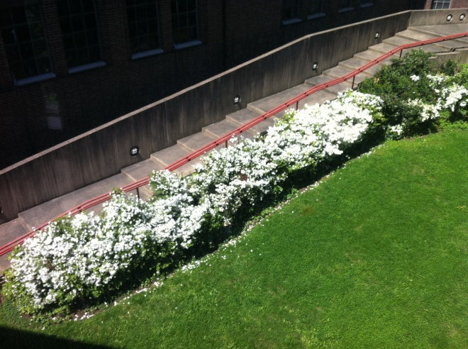 white flowers 008