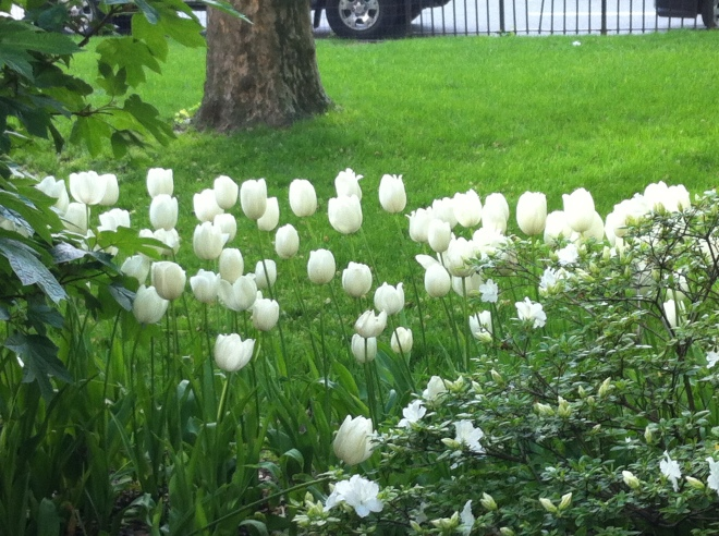 white flowers 015