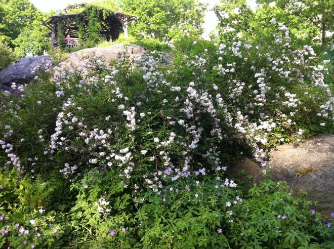 white flowers 029