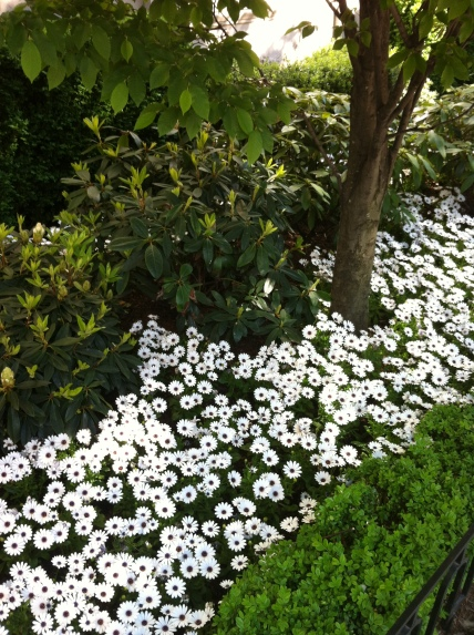white flowers 036