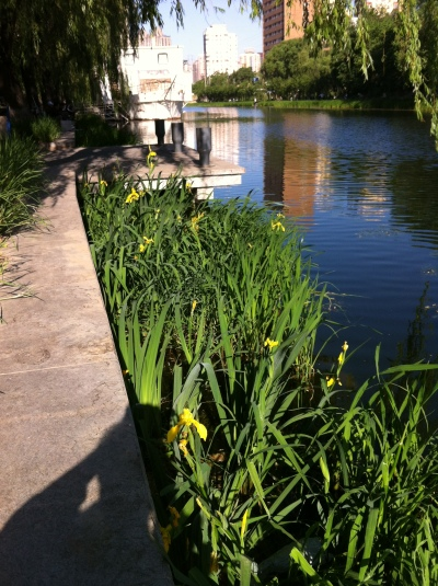 irises May 2013 004