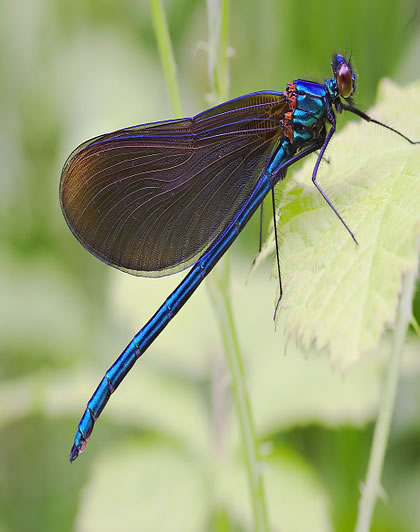 beautiful dragonfly-1