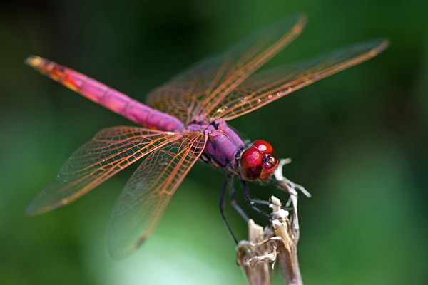 DRAGONFLY SWARMS | the heart thrills