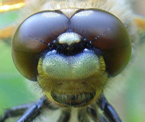 dragonfly closeup-1