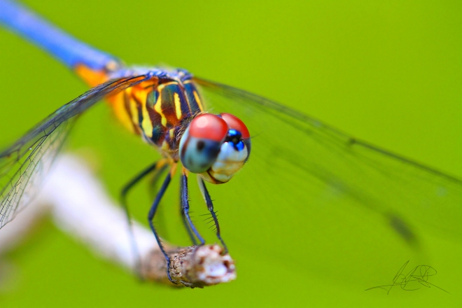 dragonfly closeup-2