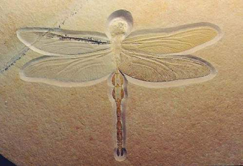 dragonfly fossil-2