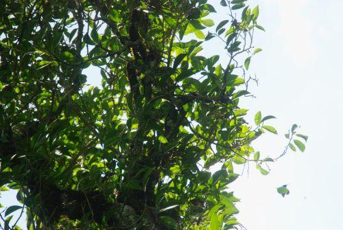 old tea treee