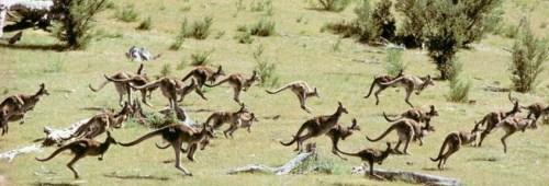 bounding-kangaroos