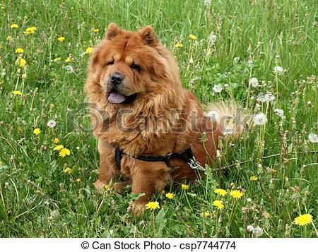 chow chow dog sitting