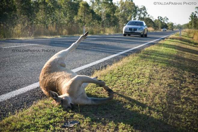 dead kangaroos