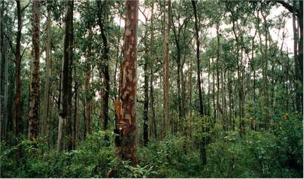 eucalyptus-forest