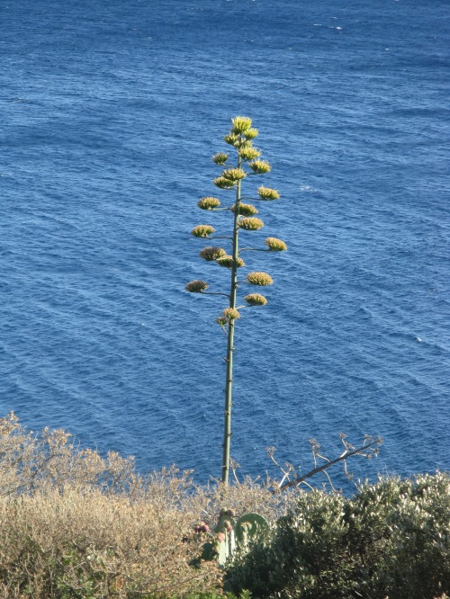 flowering agave plant