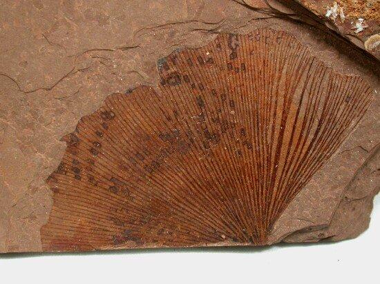 fossil ginkgo leaf