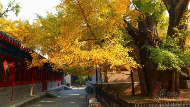 ginkgo fall dajue temple